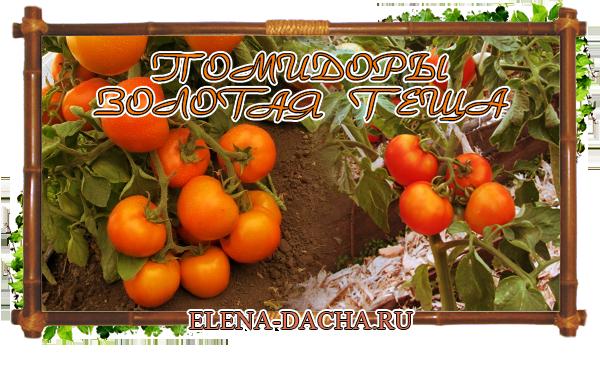Чудо помидоры — гибрид Золотая теща