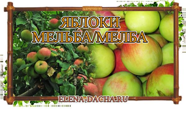 Яблоня Мельба (Мелба)