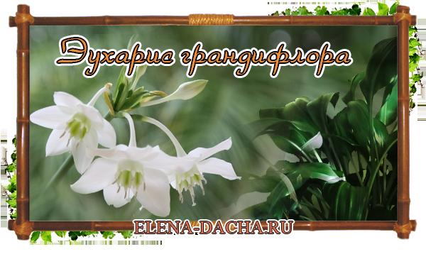 Цветы Эухарис грандифлора