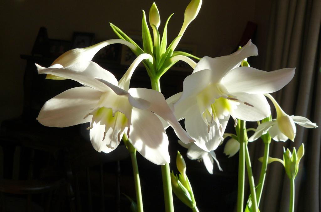 Эухарис грандифлора - луковичное комнатное растение