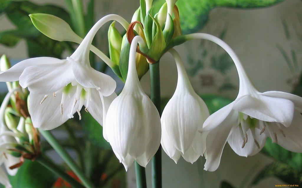 комнатные цветы - эухарис