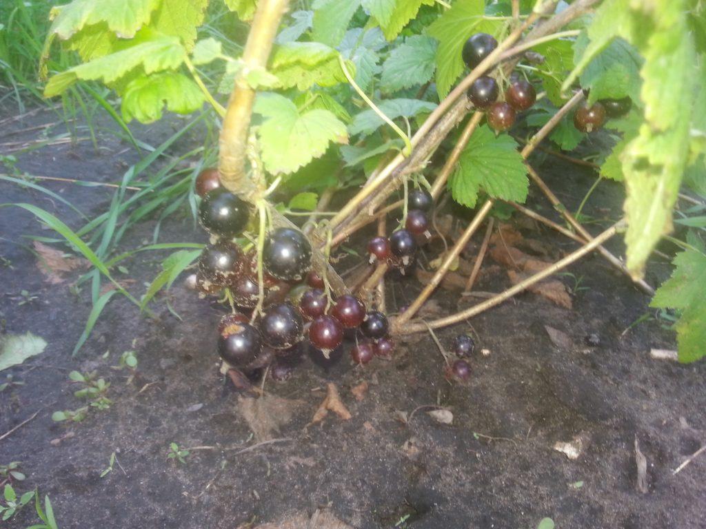 Молодое растение черной смородины