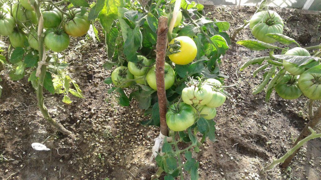зеленоплодные помидоры сорт Антоновка Медовая