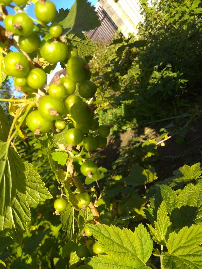 зеленые ягоды черной смородины