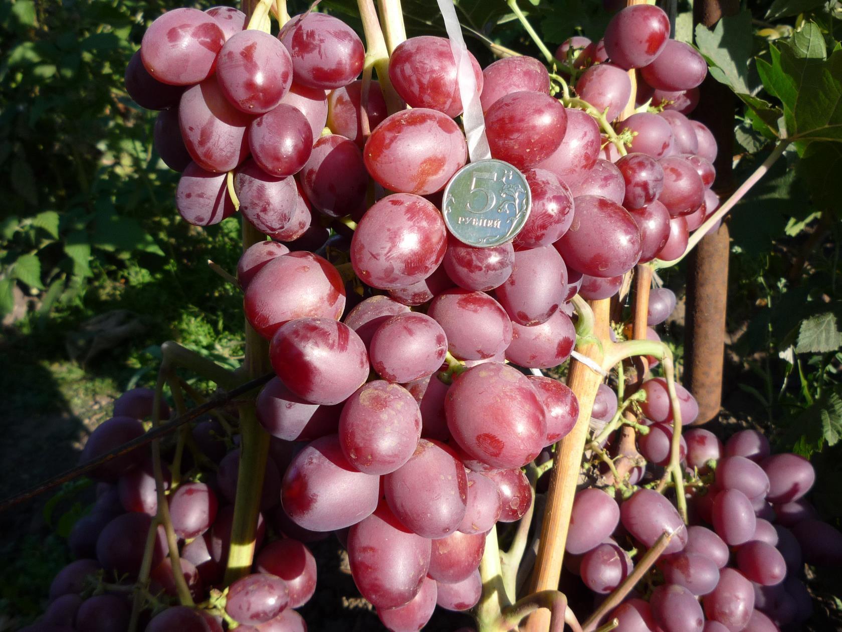 Виноград — сорта для Среднего Поволжья