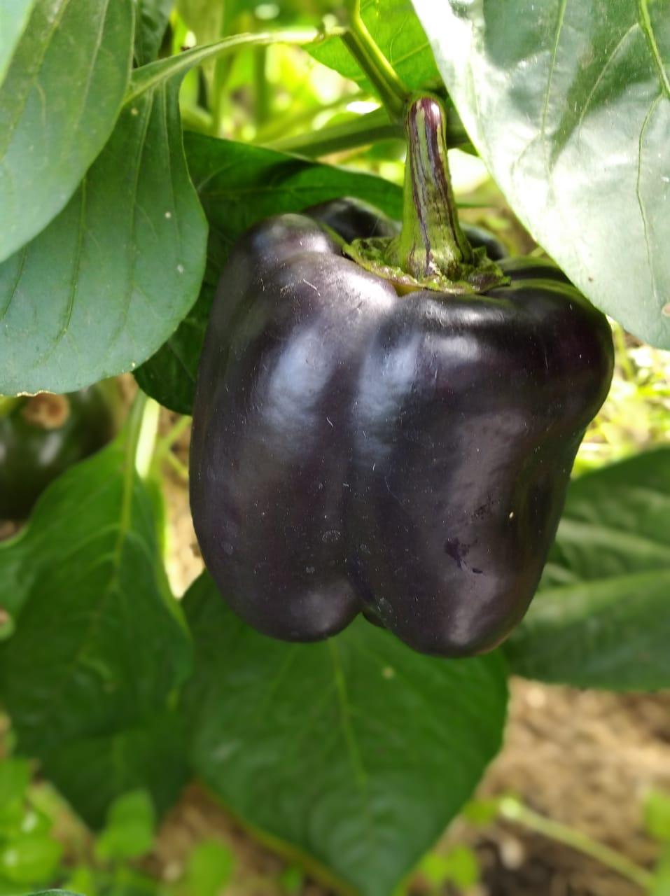 Пурпурный колокол — сладкий перец