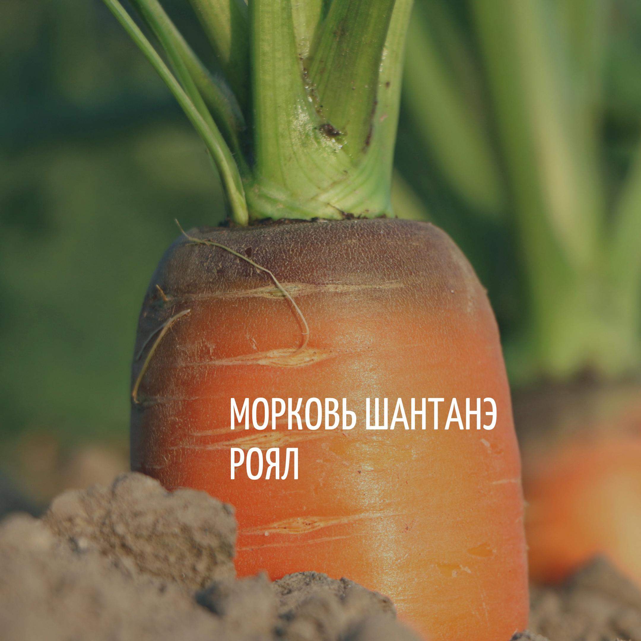 Морковь сорта Шантанэ Роял