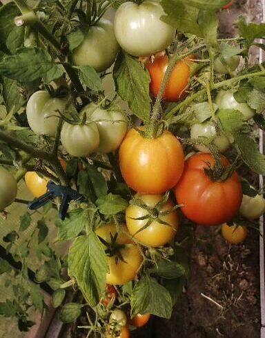 Мои удобрения для помидоров